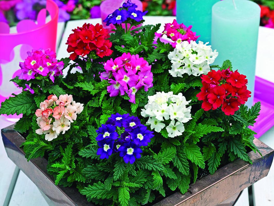 Арена, купить однолетние цветы москва